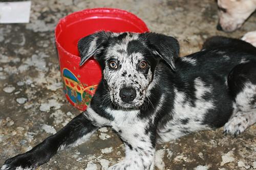 German Shepherd Great Dane Mix Puppies