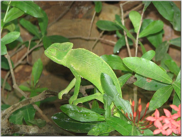 Camouflage - The Indian Chameleon | Flickr - Photo Sharing!