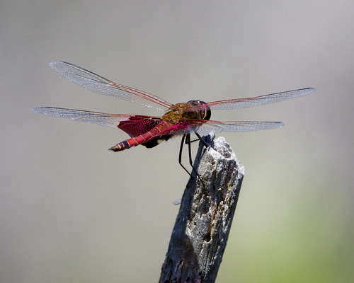 insect dragonfly kh0831