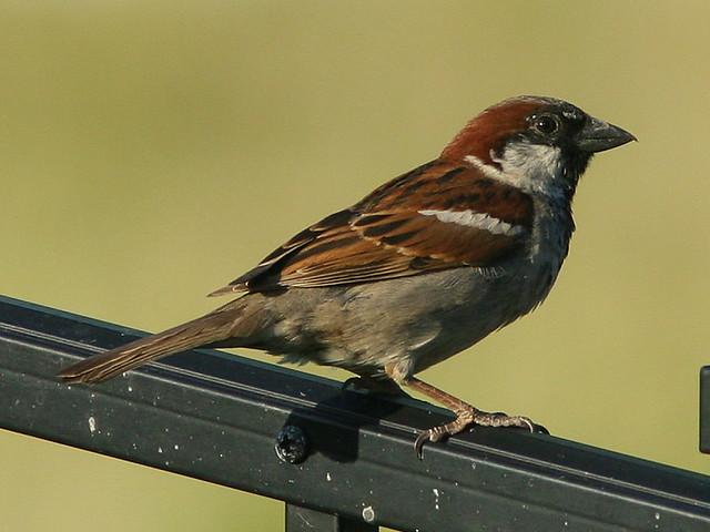 House Sparrow 20090626