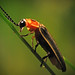 Firefly, off by James Jordan