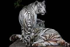 ocelot(0.0), black-and-white(0.0), animal(1.0), big cats(1.0), tiger(1.0), mammal(1.0), fauna(1.0),