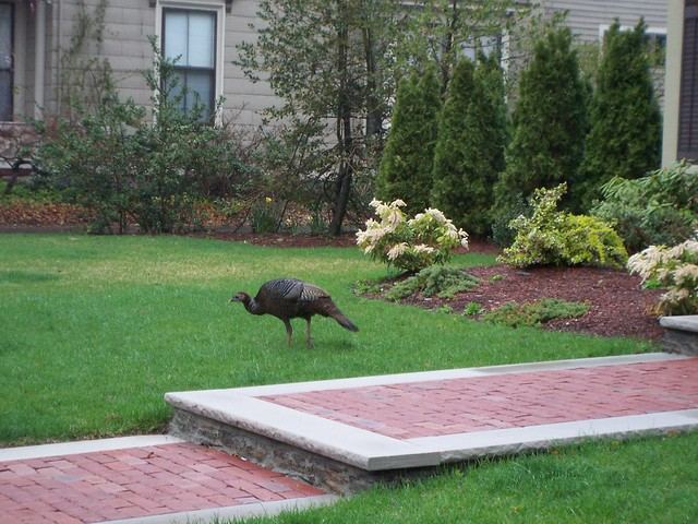 wild turkey distracted by plush lawn.