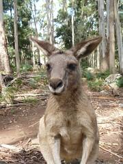 deer(0.0), white-tailed deer(0.0), musk deer(0.0), wallaby(1.0), animal(1.0), marsupial(1.0), mammal(1.0), kangaroo(1.0), fauna(1.0), wildlife(1.0),