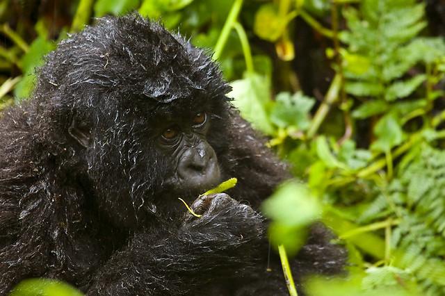 Gorilla Not singing in the rain_lo