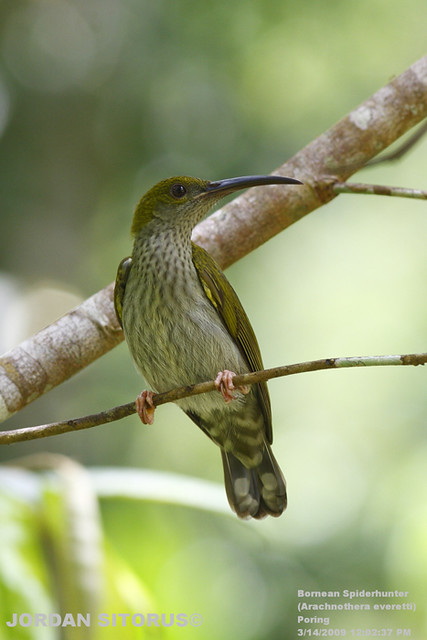 Streaky-breasted Spiderhunter (Arachnothera affinis everetti)