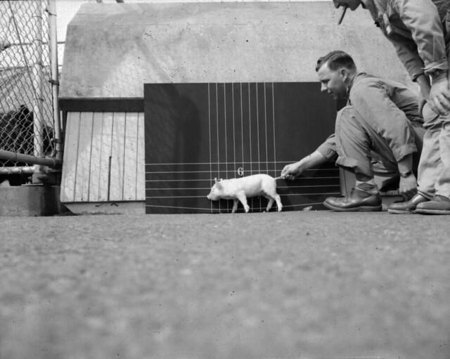1956 100-F ANIMAL FARM - HANFORD HOG