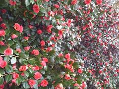 floribunda(0.0), annual plant(1.0), shrub(1.0), garden roses(1.0), camellia sasanqua(1.0), flower(1.0), plant(1.0), flora(1.0), camellia japonica(1.0), theaceae(1.0), petal(1.0),