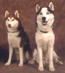 dog breed, animal, west siberian laika, dog, miniature siberian husky, alaskan klee kai, siberian husky, pet, shikoku, canadian eskimo dog, russo-european laika, east siberian laika, tamaskan dog, greenland dog, northern inuit dog, wolfdog, native american indian dog, alaskan malamute, sled dog, carnivoran,