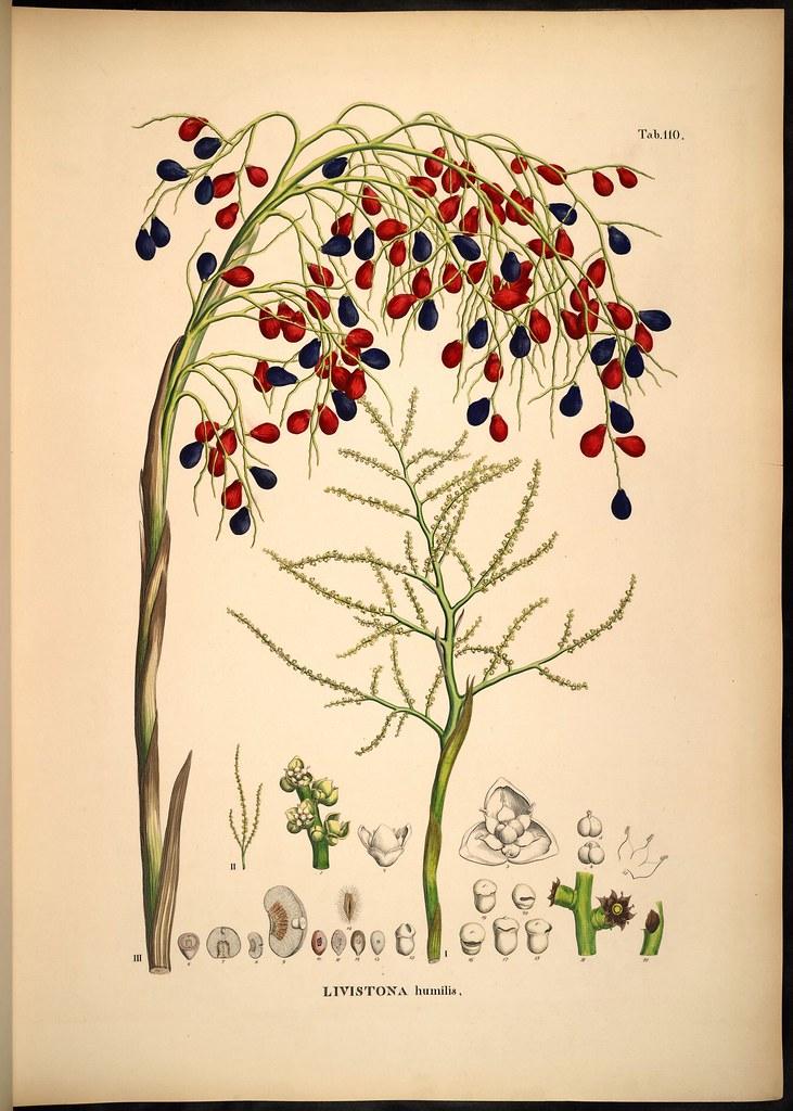 Livistona humilis (fruit + seeds)