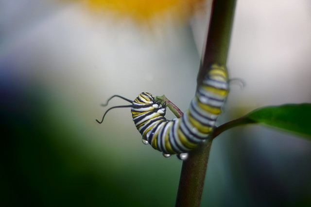 Monarch Caterpillar -uncropped taken with Tair 11A 135 f2.8