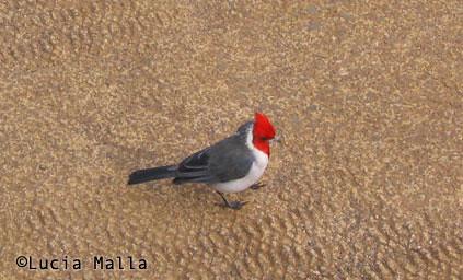 piado Brazilian cardinal