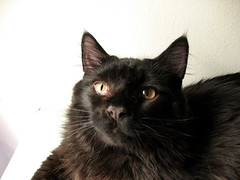 domestic long-haired cat, animal, small to medium-sized cats, pet, black cat, bombay, cat, burmese, carnivoran, whiskers, black,