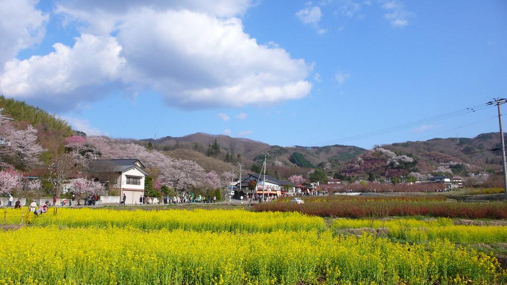 Hanamiyama, Fukushima in full cherry blossom season