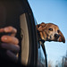 Small photo of Super Beagle