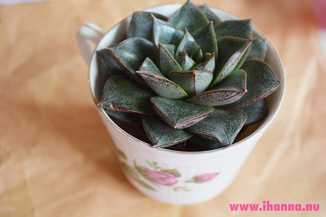 Eye Candy | Succulent in a cup