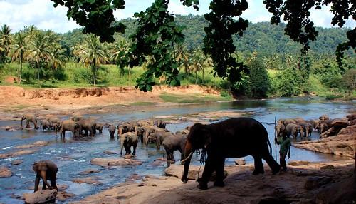 elephant river srilanka bathing kandy elephantorphanage pinnawella mywinners abigfave anawesomeshot impressedbeauty citrit theunforgettablepictures overtheexcellence goldstaraward earthasia