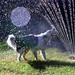 Small photo of Maxie in the sprinkler