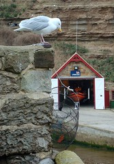 Staithes seagull