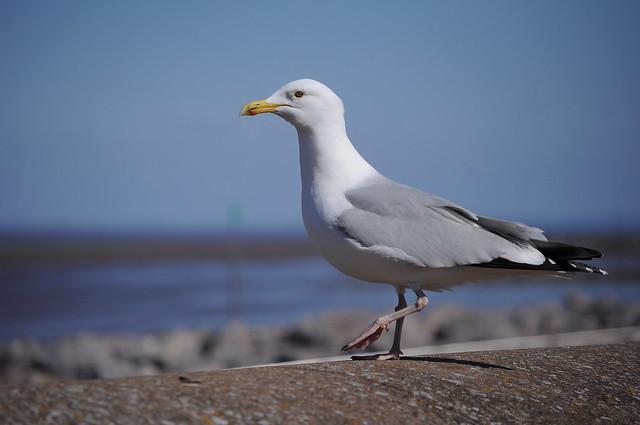 Seagull DSC_0367