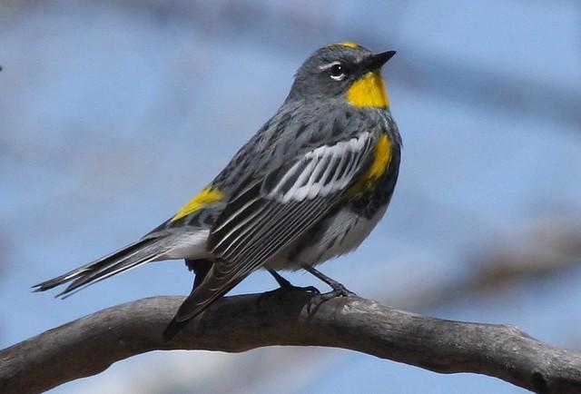 Yellow Rumped Warbler Audubon Yellow-rumped Warbler ...