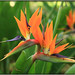 Bird of Paradise Flower - Photo (c) Arturo Nikolai, some rights reserved (CC BY-NC-SA)