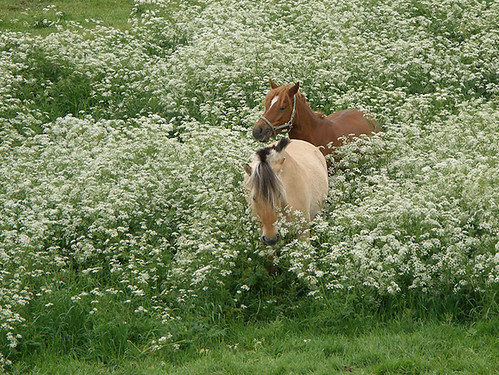 Walk through the Cow Parsley