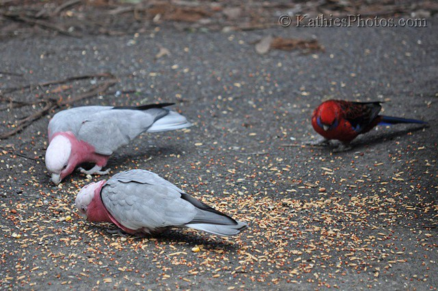 2 galahs with eastern rosella