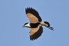 spur-winged lapwing by Alex_JoshP
