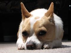 dog breed, nose, animal, dog, pet, mammal, welsh corgi,
