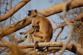 Langhur monkey
