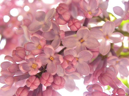 Lilac (under different natural light).