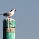Sanford Florida Common Tern