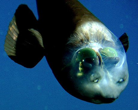 090223-02-fish-transparent-head-barreleye-pictures_big