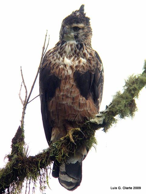 Falconiformes. Família  Acciptridae - Subfamília Buteonidade- Gaviões de penacho. genêro SPIZAETUS 3336840922_67c45b1649_z