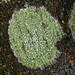 Bitter Wart Lichen - Photo (c) Richard Droker, some rights reserved (CC BY-NC-ND)