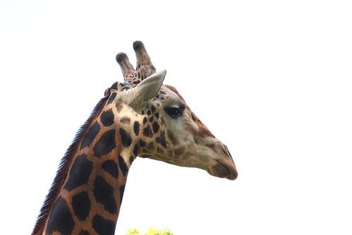 Madagascar melman the giraffe flickr photo sharing - Girafe madagascar ...