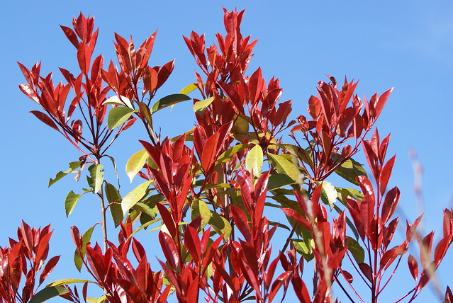 Photinia 'Red Robin' DSC09098