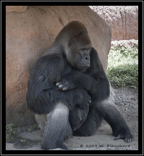 Angry Gorilla | Flickr - Photo Sharing! - photo#35