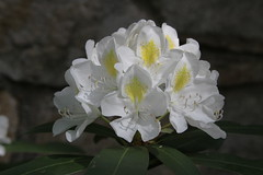 White Rhododendron 2009