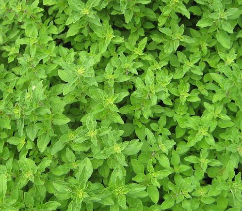 Oregano plant, Oregano