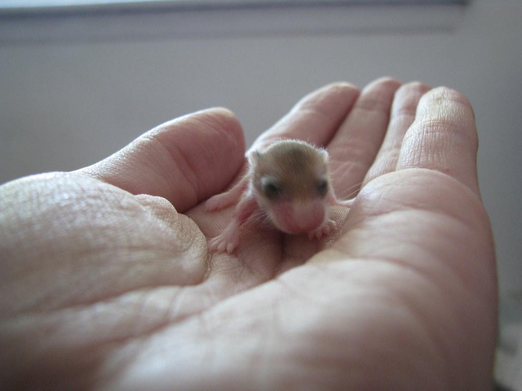 Can Dwarf Hamsters Eat Rabbit Food