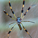 Golden Silk Orb-weavers - Photo (c) L Church, some rights reserved (CC BY)