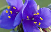 Spiderwort Wallpaper for Widescreen