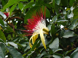 "Munguba, / Castanheira-do-Maranhão / ""Pachira aquatica"" flower. Brazilian native"