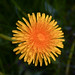 red-seeded dandelion - Photo (c) Steven Depolo, some rights reserved (CC BY)