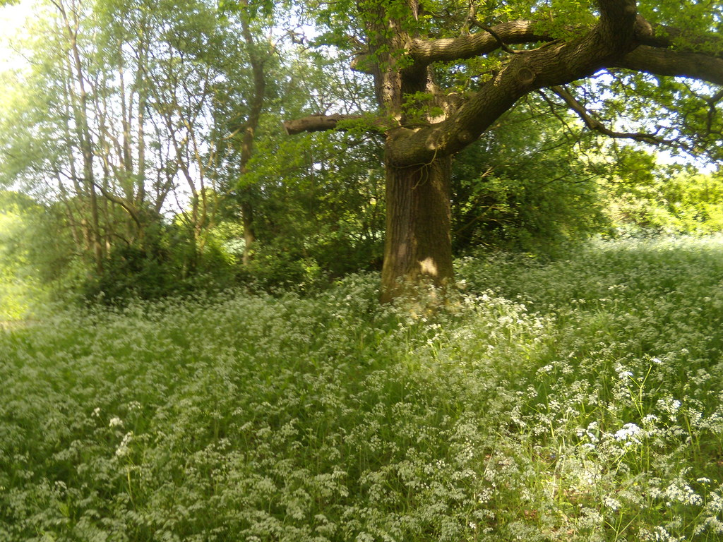 Tree in Cow Parsley Wakes Colne to Bures