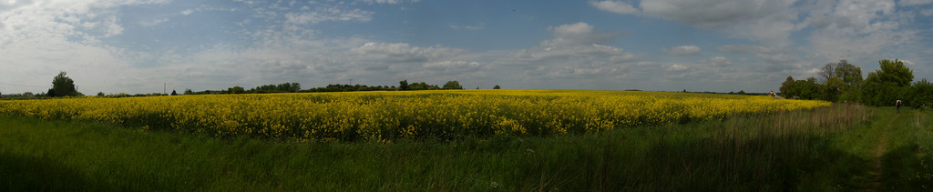 Biggest rapefield in the world... ...seems like it, anyway. Stretched from us, to the horizon. Wakes Colne to Bures