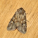 Small photo of [2334] Rustic Shoulder-knot (Apamea sordens)