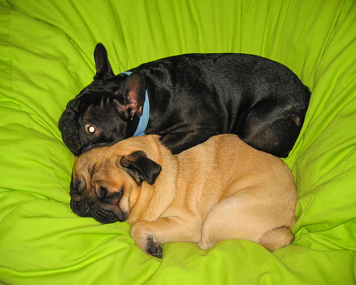 pug-frenchie-dogs-cuddling | Flickr - Photo Sharing!